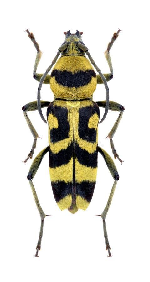 Varius de Chlorophorus del escarabajo del Capricornio fotos de archivo libres de regalías