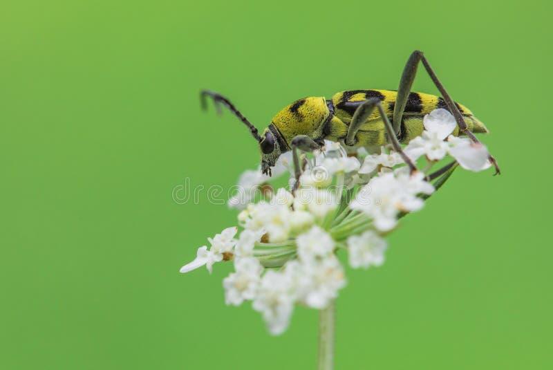 Varius de Chlorophorus do besouro de Longhorn em República Checa fotografia de stock