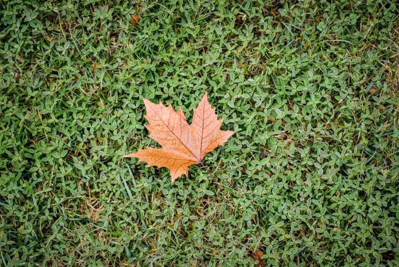 Varje enkel lönnlöv på nytt gräs royaltyfria bilder