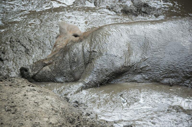Varken in de modder stock afbeelding