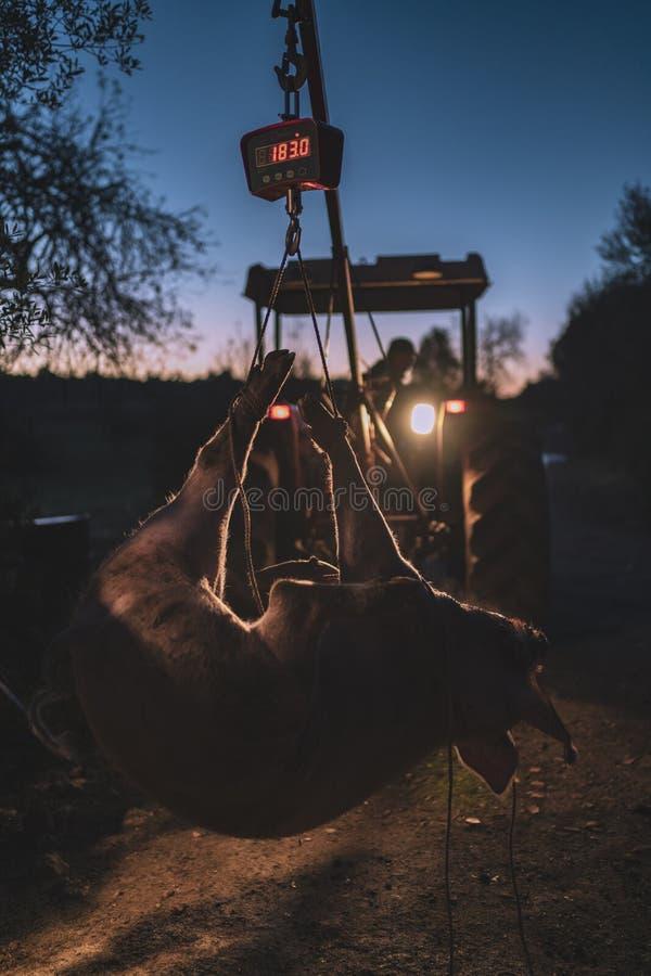Varken het hangen van een tractor die op een schaal wegen stock foto's