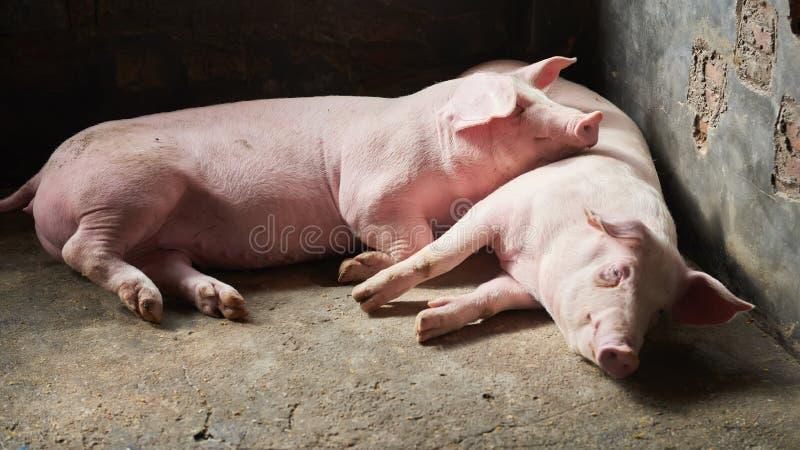 Varken in landbouwbedrijf royalty-vrije stock foto