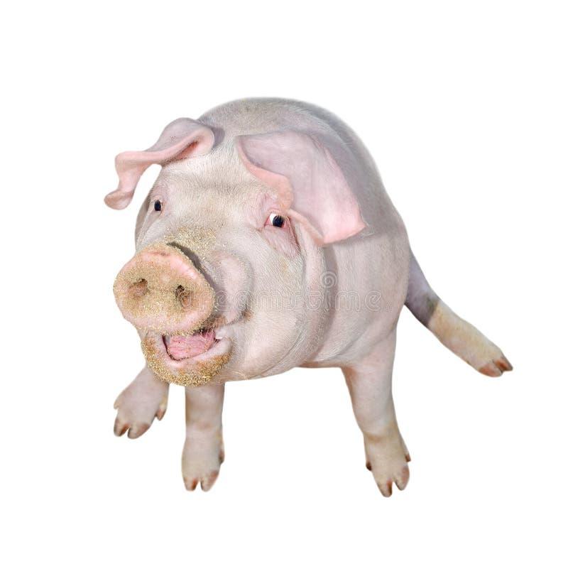 Varken op witte volledige lengte wordt geïsoleerd die Het zeer grappige en leuke roze varken zit op de ezel De dieren van het lan royalty-vrije stock afbeeldingen