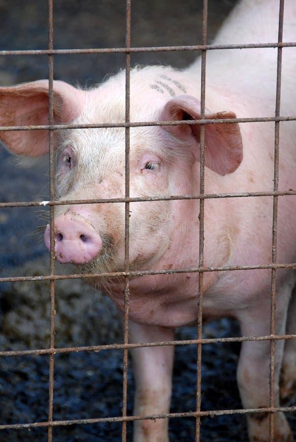 Varken in varkensvarkenskot royalty-vrije stock afbeelding