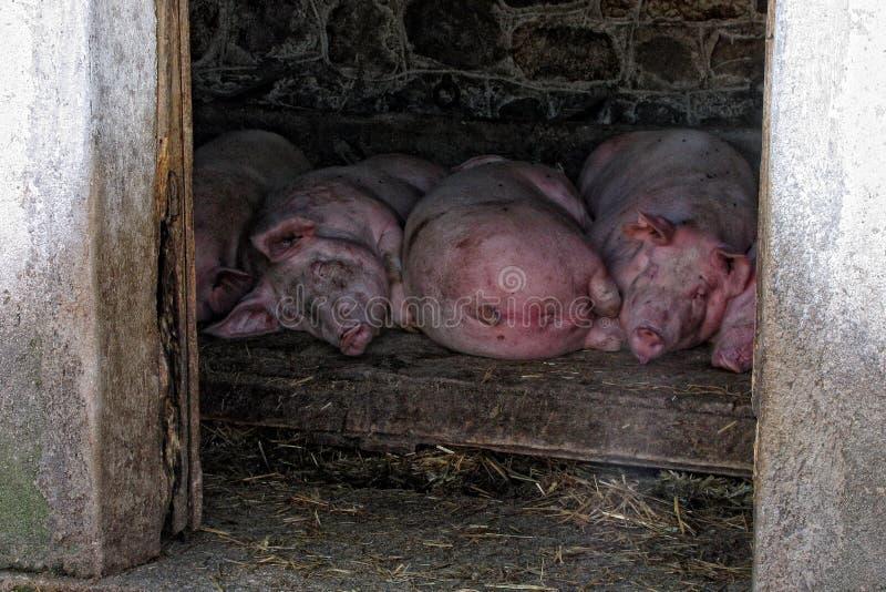Varkens stock afbeeldingen