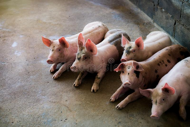 Varkens bij het landbouwbedrijf De vleesindustrie Varken die de groeiende vraag naar vlees in Thailand bewerken te ontmoeten en i royalty-vrije stock foto's