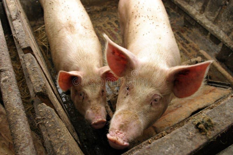 Varkens in een landbouwbedrijf stock fotografie
