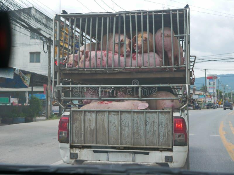 Varkens geladen in een compartiment met twee verdiepingen geïnstalleerd op een bestelwagen - lokaal vervoer van vee, het perspect stock afbeeldingen