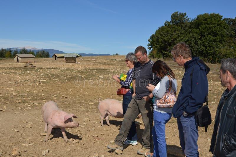 Varkens in hun omgeving met haar landbouwer stock afbeelding
