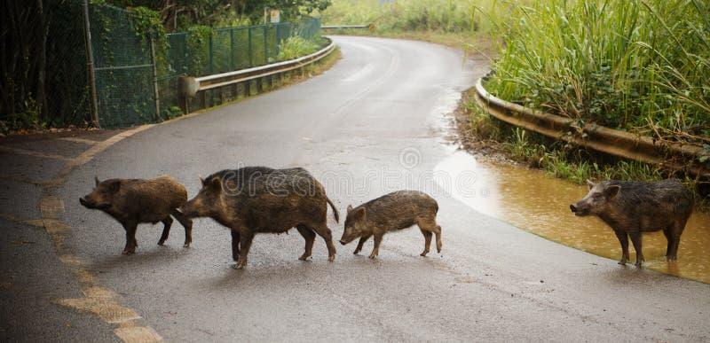 Varkens op de weg stock foto's