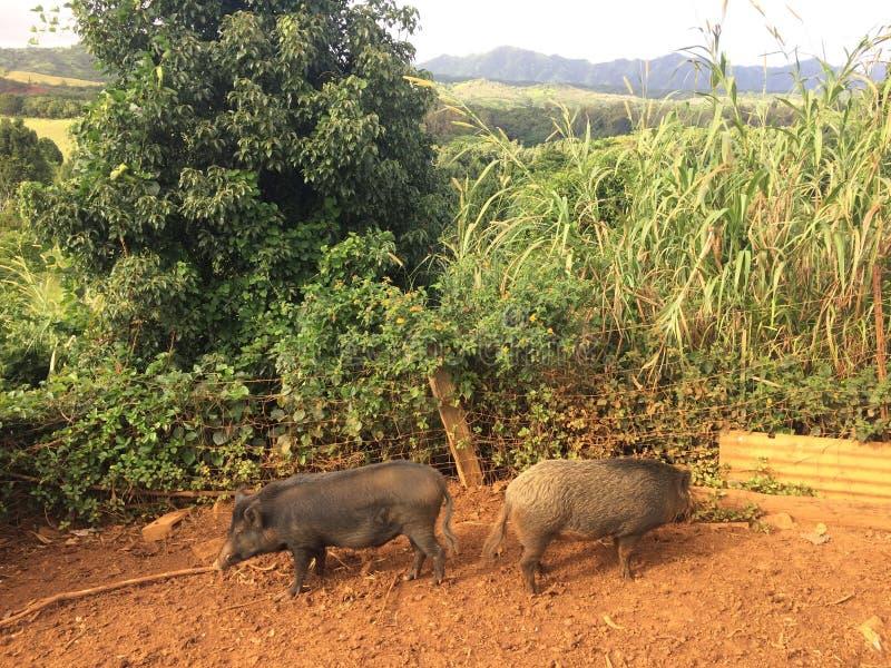 Varkens op Landbouwbedrijf op het Eiland van Kauai, Hawaï royalty-vrije stock foto's