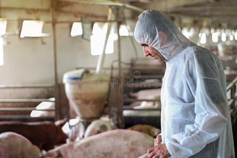 Varkensdierenarts die Varkens controleren Ziekten royalty-vrije stock foto's