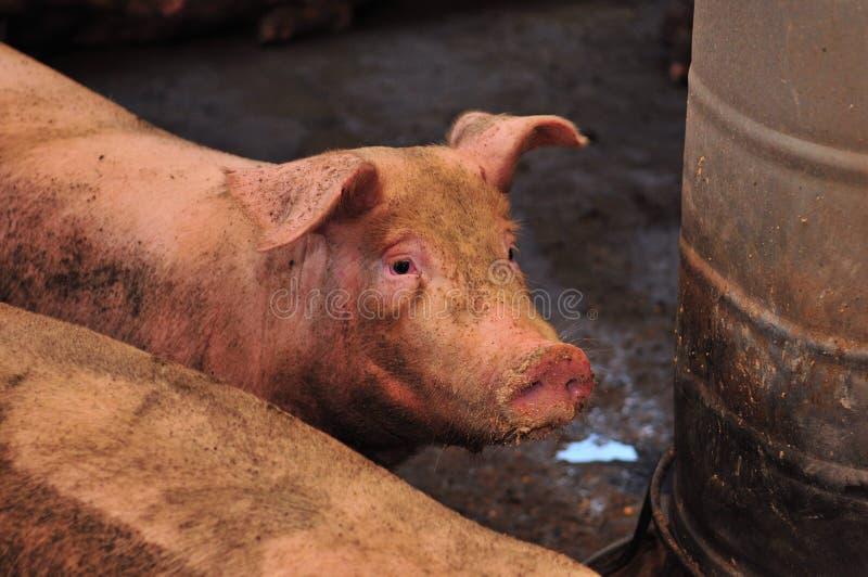 Varkensfokkerij stock afbeeldingen