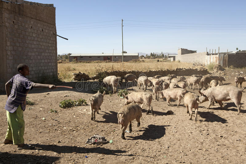 Varkensfokkerij, Ethiopië royalty-vrije stock fotografie