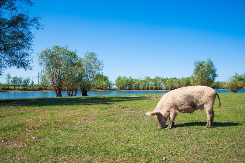 Varkensfokkerij Varkens op gebied stock afbeelding