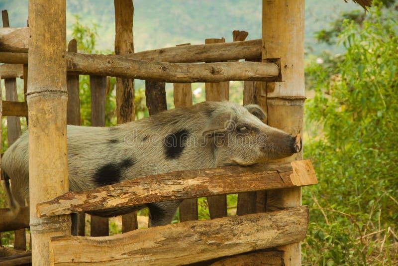Varkensveeras in traditioneel lokaal stijllandbouwbedrijf met bamboehutten op Flores, Indonesië stock foto's