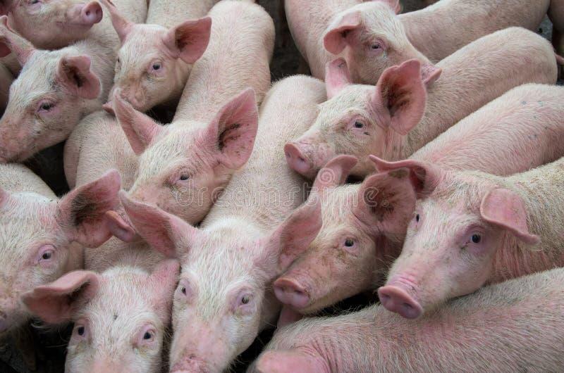 Varkensziekten Afrikaanse varkenspestvirus ASFV stock foto