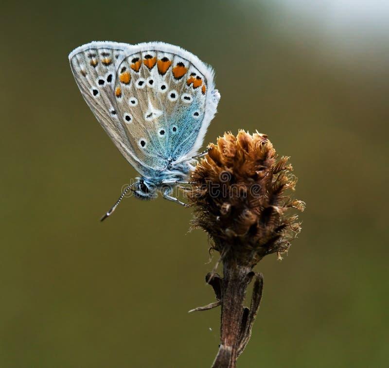 varm fjärilsicarus ljus polyommatus fotografering för bildbyråer