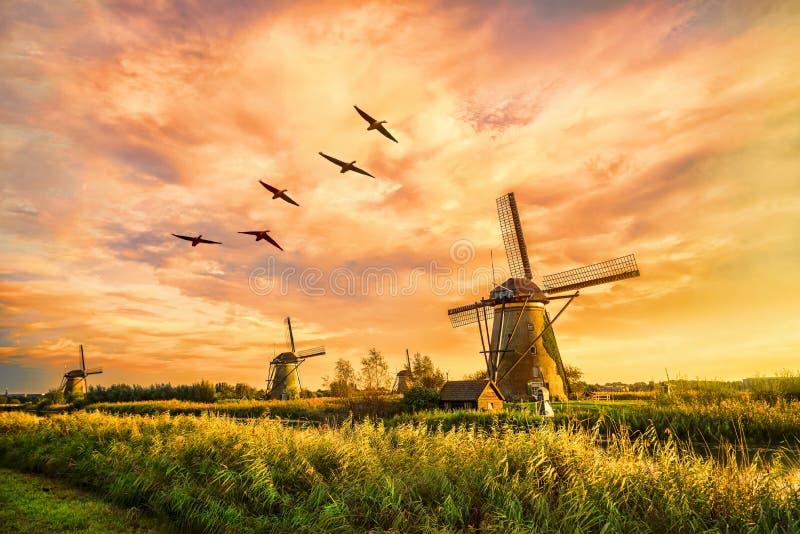 Varm jätte- holländare royaltyfri bild