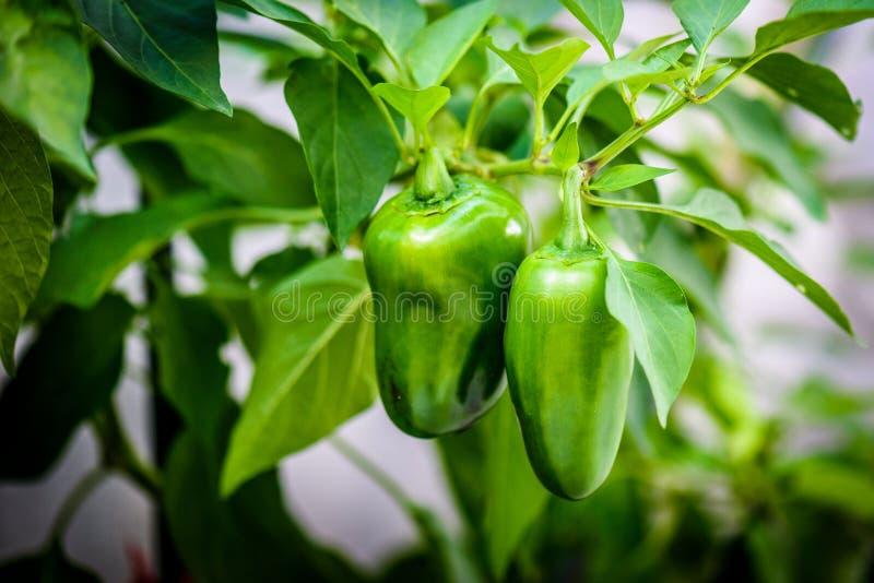 Varm peppar för grön mogen jalapenochili på en växt royaltyfria foton