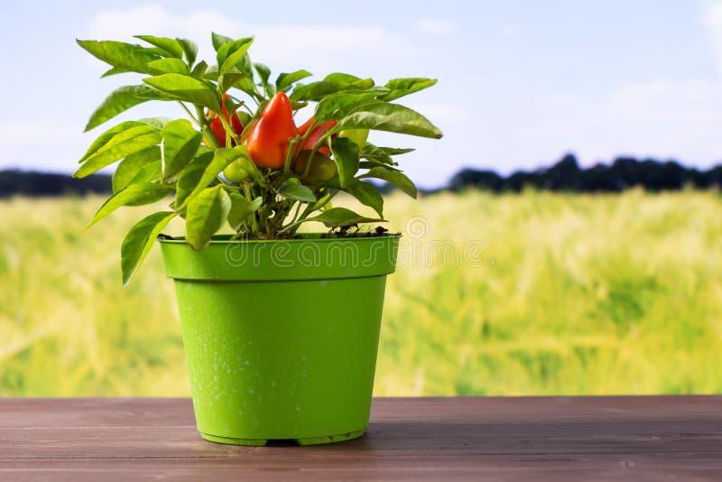 Varm röd orange chilipeppar med fältet bakom arkivbilder