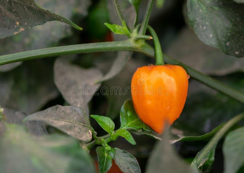 Varma röda jalapenopeppar växer i växthus fotografering för bildbyråer
