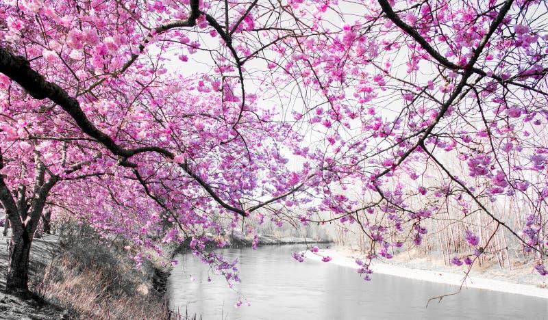 Varma rosa färger Cherry Blossom In Full Bloom som för brand dinglar över floden på en ljus våreftermiddag i nedgångstaden Washin fotografering för bildbyråer