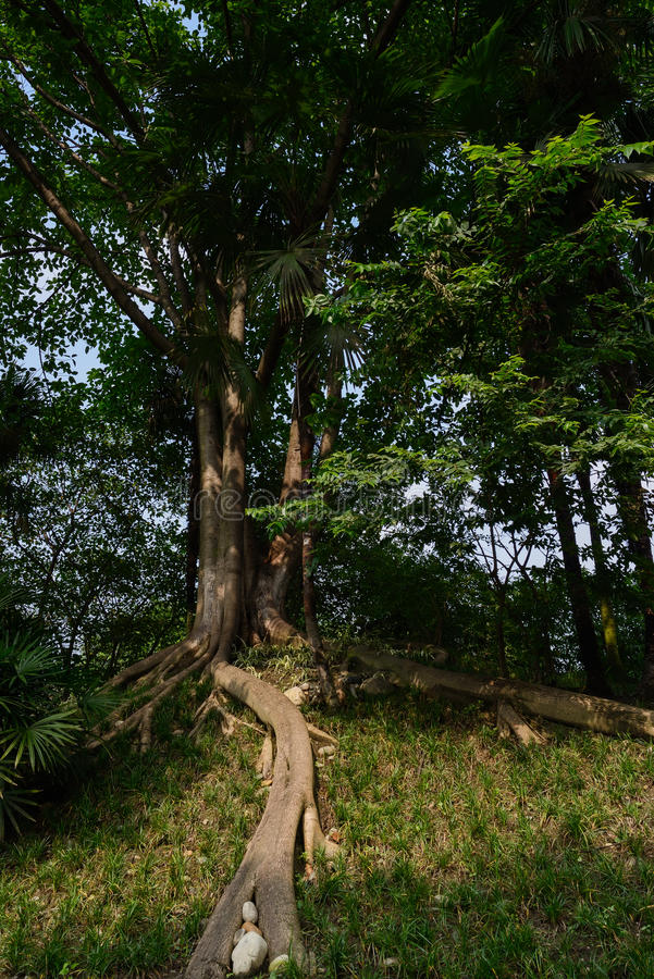 Varmt eftermiddagsolljus på åldrigt träd royaltyfri fotografi