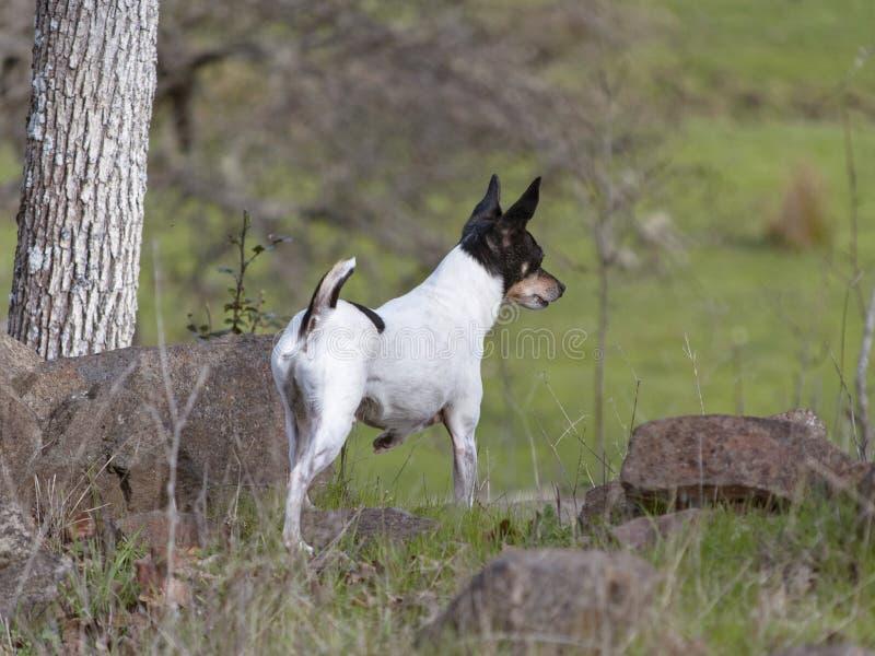 Varning Toy Fox Terrier, i att patrullera hans ranch royaltyfria foton