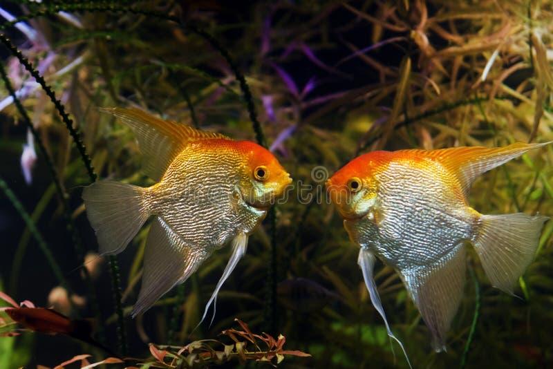 Varones angelícolas listos para luchar, raza artificial aqua de raza silvestre Pterofilum scalare cicllid en la coloración Koi, p fotos de archivo libres de regalías