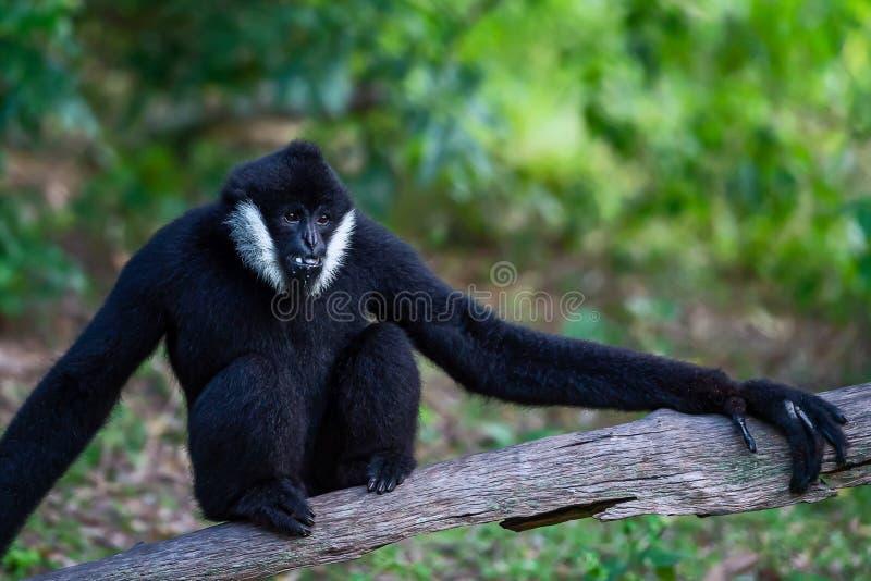 Varones negros de Gibbon imagen de archivo