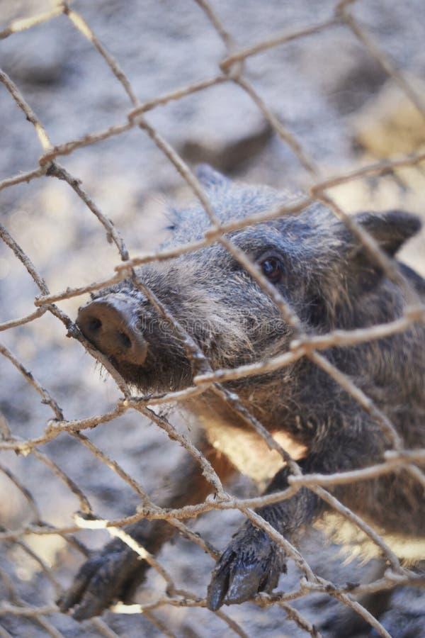 Varrão bonito pequeno do bebê no jardim zoológico fotos de stock royalty free