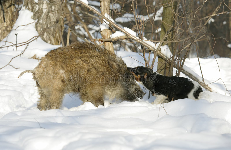 Varrão selvagem e cão. foto de stock royalty free
