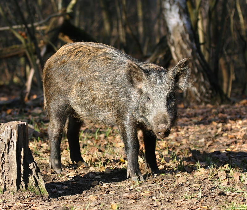 Varrão selvagem na floresta. fotografia de stock royalty free