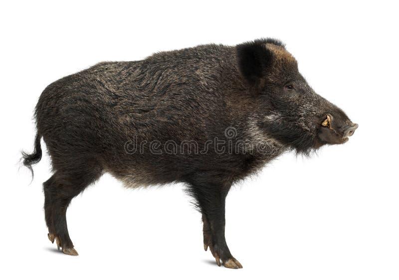 Varrão selvagem, também porco selvagem, scrofa do Sus fotos de stock royalty free