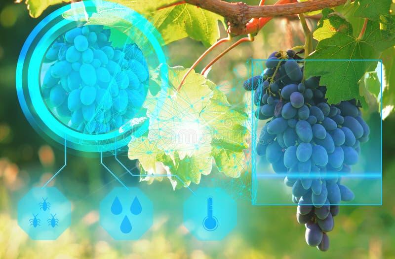 Varredura de um grupo de uvas para verificar a qualidade da colheita e dos parâmetros ótimos do cultivo usando a inteligência art