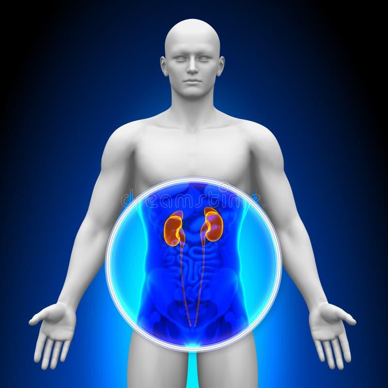 Varredura médica do raio X - rins ilustração do vetor