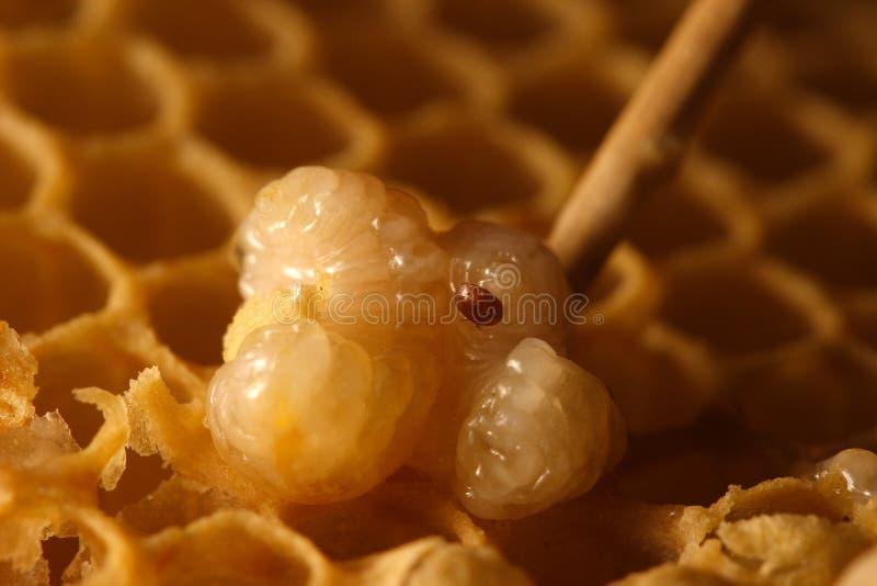 Varroa стоковая фотография