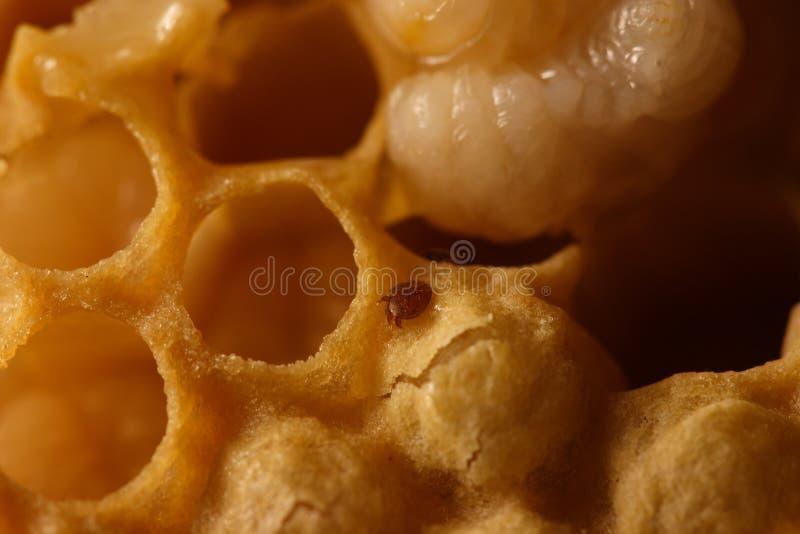 Varroa стоковые изображения rf