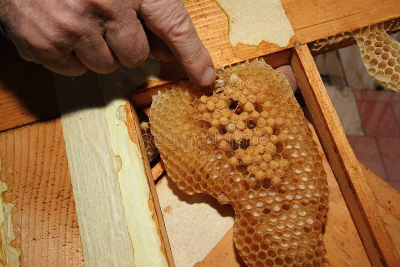Varroa стоковые фото