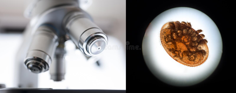 Varroa de parasiet van de vuilverbrandingsovenbij stock foto's
