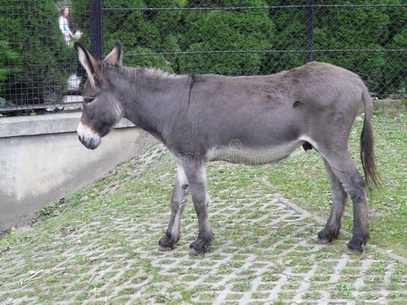 VARS?VIA, POL?NIA - asno [asinus do Equus] no JARDIM ZOOL?GICO de Vars?via fotos de stock royalty free