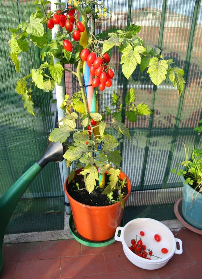 Vas med tomatväxten och den vita behållaren med de alread arkivfoton