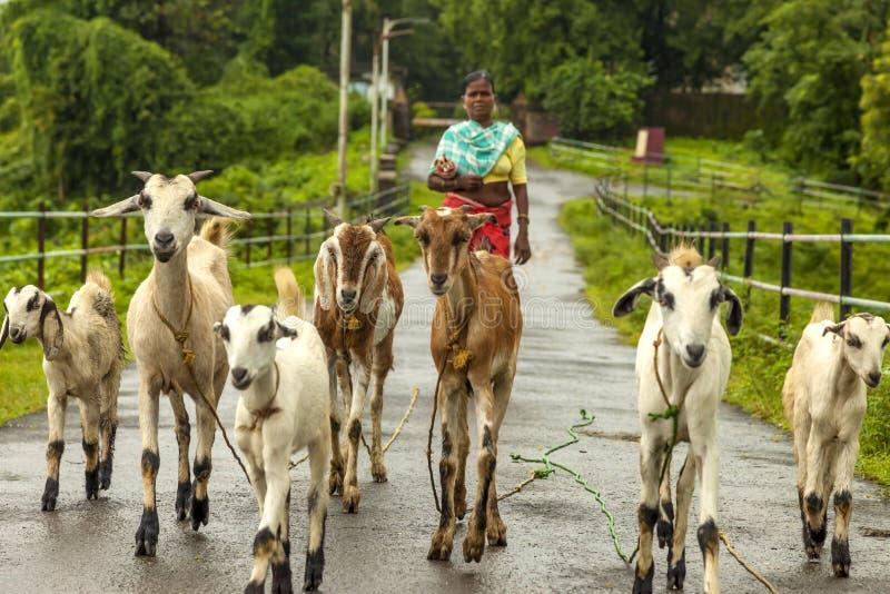 Vasai, maharashtra, la INDIA - 22 de septiembre de 2018: Una mujer india no identificada lleva sus cabras al pasto el 22 de septi imagen de archivo libre de regalías
