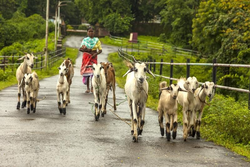 Vasai, maharashtra, la INDIA - 22 de septiembre de 2018: Una mujer india no identificada lleva sus cabras al pasto el 22 de septi imagenes de archivo