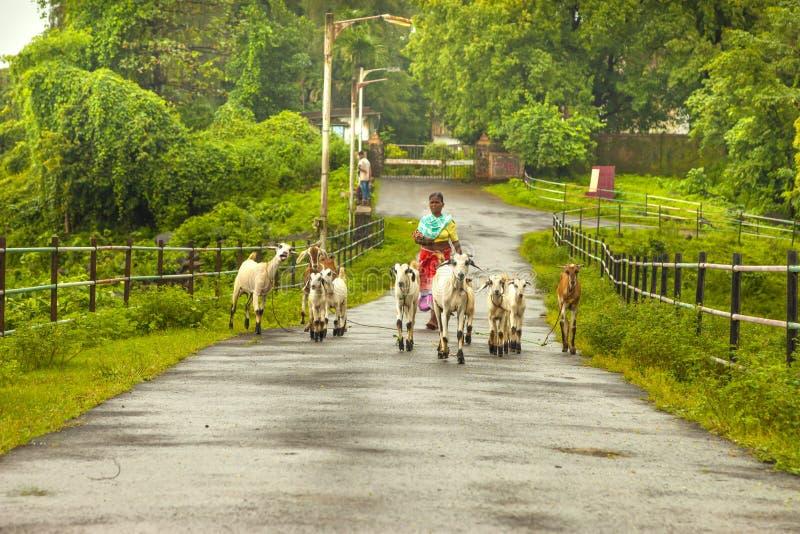 Vasai, maharashtra, la INDIA - 22 de septiembre de 2018: Una mujer india no identificada lleva sus cabras al pasto el 22 de septi fotos de archivo libres de regalías