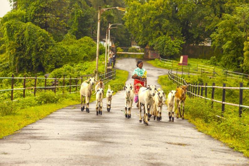 Vasai, maharashtra, la INDIA - 22 de septiembre de 2018: Una mujer india no identificada lleva sus cabras al pasto el 22 de septi fotografía de archivo
