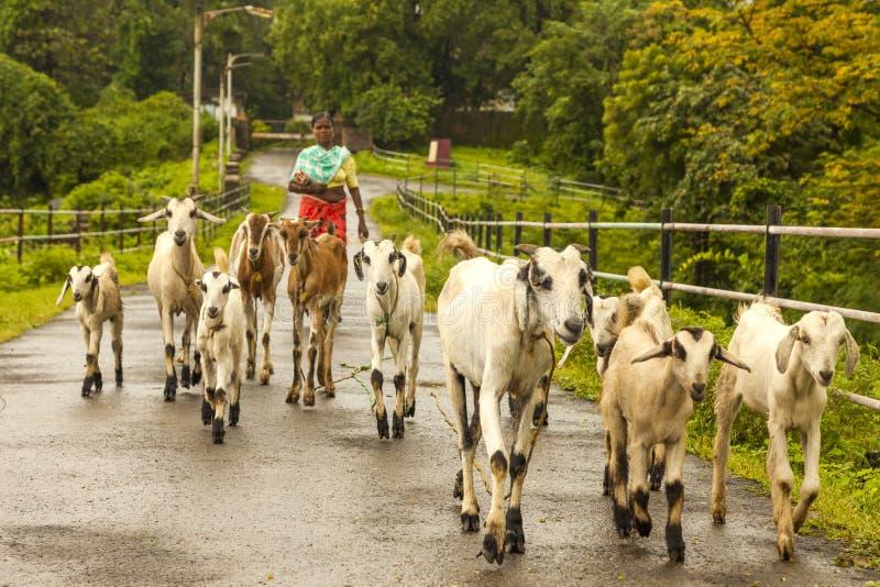 Vasai, maharashtra, la INDIA - 22 de septiembre de 2018: Una mujer india no identificada lleva sus cabras al pasto el 22 de septi foto de archivo libre de regalías