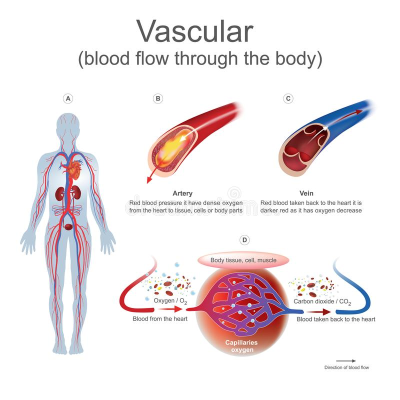 Vascular blood flow through the body. stock illustration