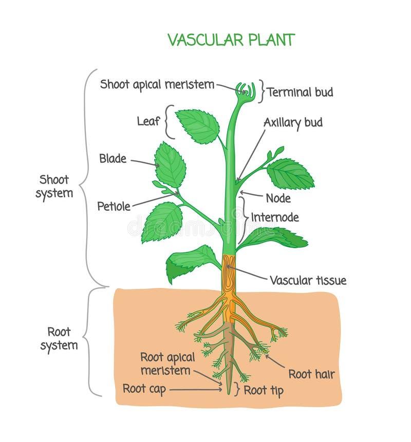 Vascular plant biological structure labeled diagram, vector illustration. Vascular plant biological structure diagram with labels, vector illustration drawing vector illustration